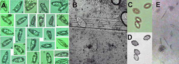On-chip contact images of helminth eggs and larvae from stool samples.