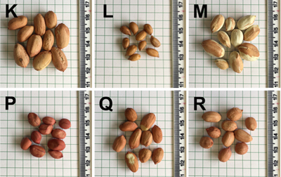 Seeds of different peanut genotypes. Click to see all.