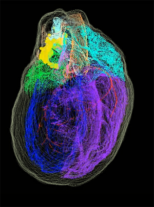 3D reconstructed male rat heart. Click for more info.