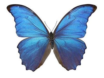 Blue iridescence: Morpho didius