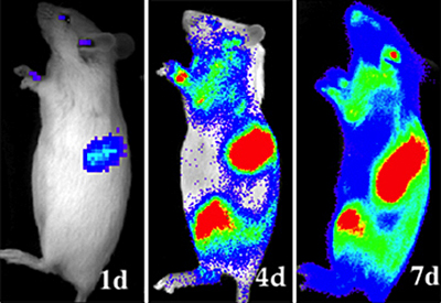 Optical Imaging shows Hematopoietic stem cell fates in rats. Click for more info.