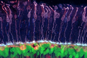 Brain circuits and photoreceptors