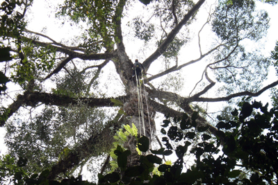 Faraway tree: Unding Jami, an expert climber from Sabah, confirmed its height in person.