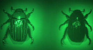 Revolvers: beetle shell shows strong dichroism