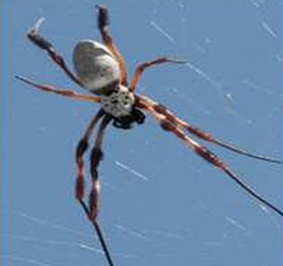 Nephila edulis spider: component supplier