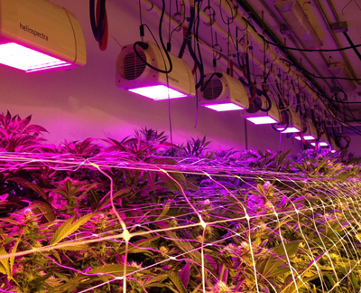 Pinkhouse Blooms, Denver, another cannabis grower, uses Heliospectra's LED system.