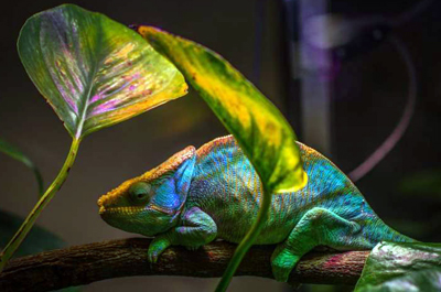 Novel nanolaser employs the same color-change mechanism that chameleons use.