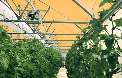 In terrestrial testing the Q-dot films have improved tomato yields by 20-30%.